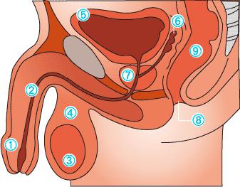 prostata 40 grammi